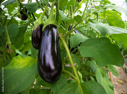 Photo  eggplant in a greenhouse
