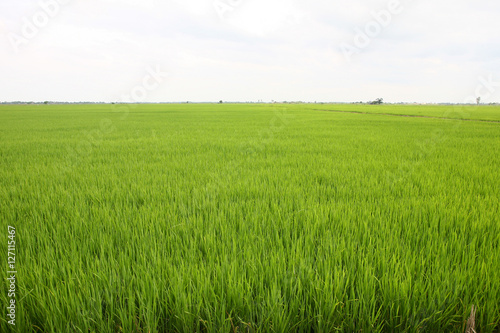 Poster Lime groen Rice field