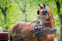 Portrait Of Bay Carriage Driving Horse