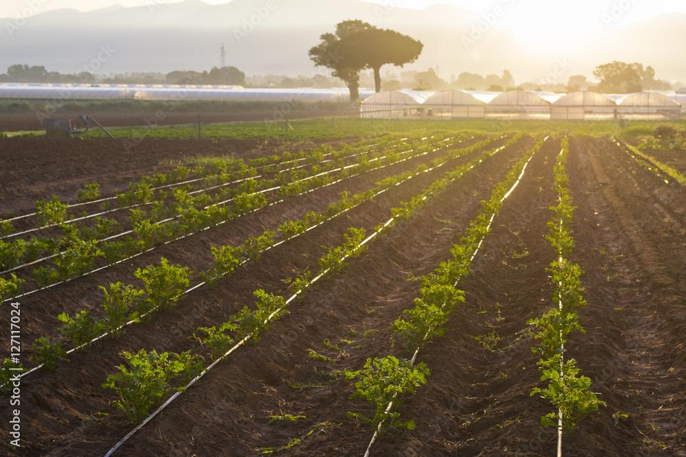 Fototapety, obrazy: coltivazioni biologiche in Italia