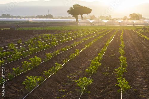 Fotografie, Obraz  coltivazioni biologiche in Italia