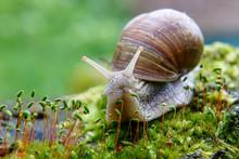 Burgundy Snail (Helix, Roman S...