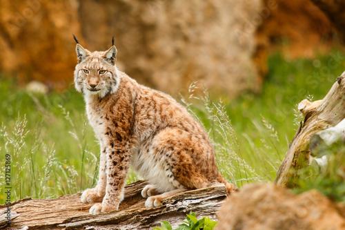 Lynx at liberty