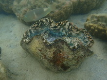 A Giant Clam Under The Sea