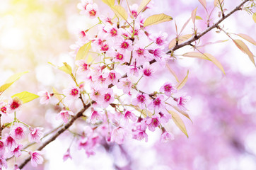 Pink cherry blossom in winter season,Chiangmai,northern of Thailand