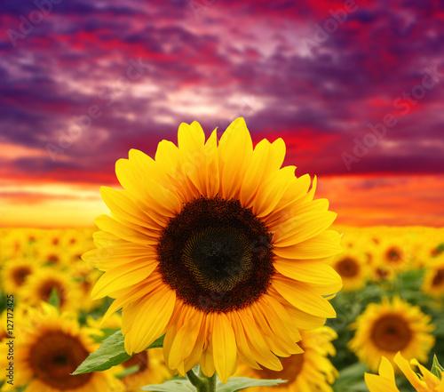 Papiers peints Grenat sunflowers and sun