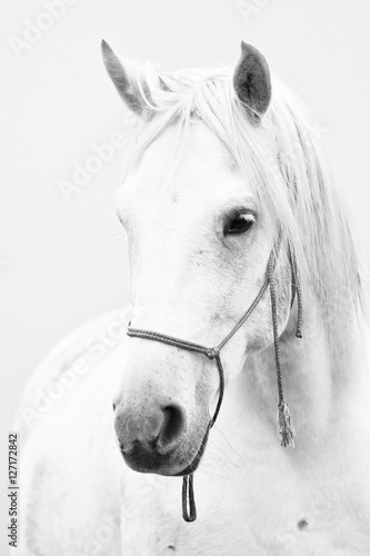 White horse Tablou Canvas