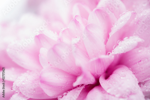 Fototapety, obrazy: pink chrysanthemum flower and water drops in macro lens shot small DOF