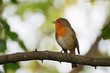 Red robin sitting on the branch with green background and look to left.