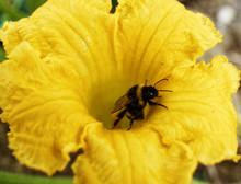 Abeille Butiner  Fleur De Courgette