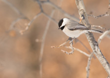 Carolina Chickadee Sitting On A Tree Branch, Looking Down For A Place To Land