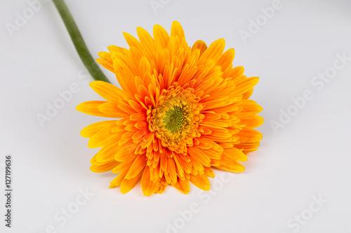 Aluminium Prints Gerbera Macro orange Chrysanthemum on the white background