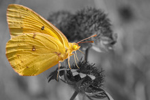 Clouded Sulphur Butterfly Feed...