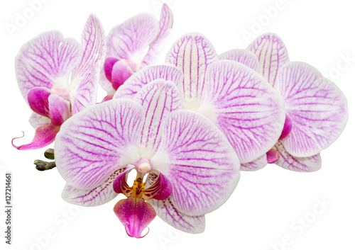 Aluminium Prints Orchid Freigestellte Orchidee Phalaenopsis auf weißem Hintergrund