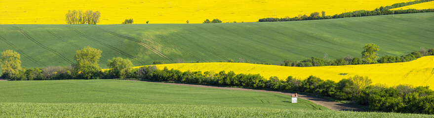 fields of yellow rapeseed in panoramic view