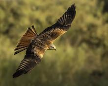 Milvus Milvus, Red Kite