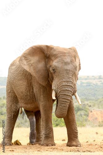 Foto op Aluminium Olifant Bush Elephant - Don't look at me