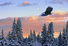 Winter Scenery With Bald Eagle Soaring Over Snow-covered Forest At Sunset