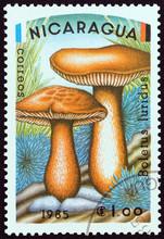 Boletus Luridus Mushrooms (Nicaragua 1985)