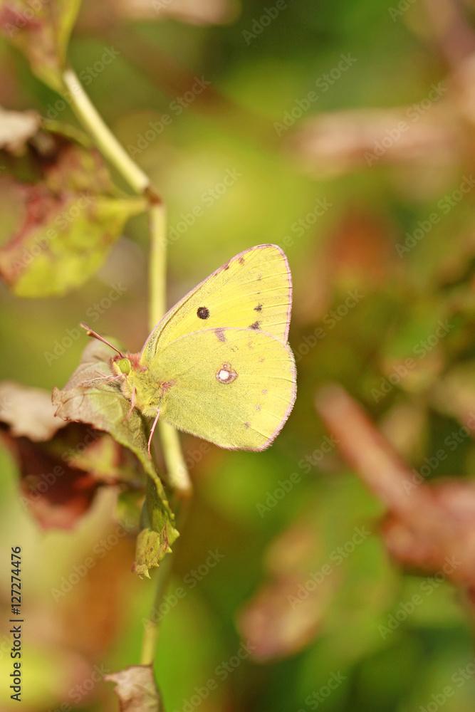 Postillon, Wander-Gelbling/Wandergelbling - Schmetterling, Falter ...