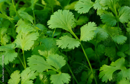 Health benefits of coriander.  Coriander is loaded with antioxidants, vitamin-A, vitamin-C and minerals. Many coriander on field.