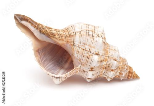 Valokuva  Pleuroploca trapezium,, trapezium horse conch
