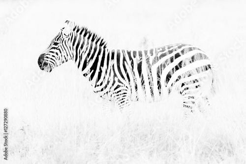 Poster Zebra Zebras in the African savannah