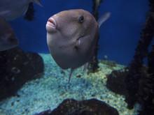Triggerfish Grey