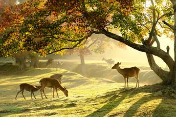 Fototapeta奈良の鹿