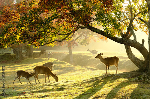 Foto op Plexiglas Hert 奈良の鹿