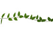 Wild climbing plant isolated on white background, clipping path