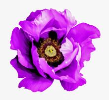 Surreal Dark Chrome Purple Poppy Flower Macro Isolated On White