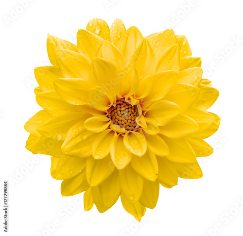 Poster de jardin Dahlia Yellow flower dahlia macro isolated on white
