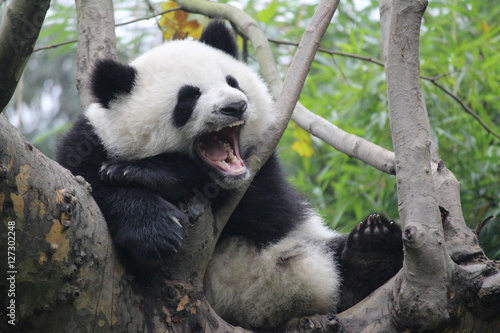 Stickers pour porte Panda Baby Panda on the Tree