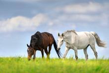 Two Horse Walk On Spring Meadow Against Blue Sky With Clouds