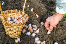 Hand Planting Garlic In The Vegetable Garden. Autumn Gardening.