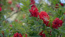 Bunch Of Red Berry Fruit On Th...