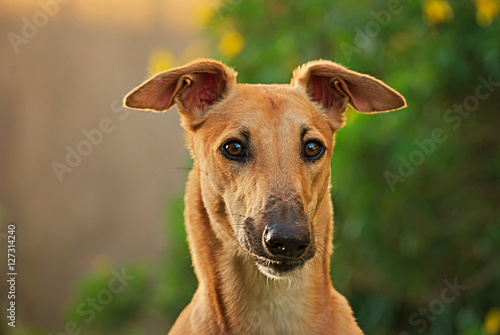 Portrait of a greyhound Canvas Print