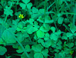 Green clovers on the grass