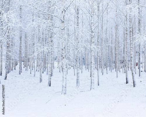 brzozowy-las-zakrywajacy-w-sniegu