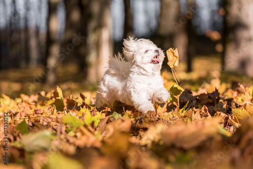White Happy Maltese dog is running on autumn leaves. Tapéta, Fotótapéta