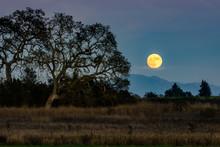 Rise Of The Super Moon With Oak Trees Seen From The Laguna De Santa Rosa Trail. Sonoma County, California.