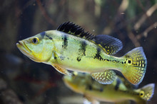 Butterfly Peacock Bass (Cichla...