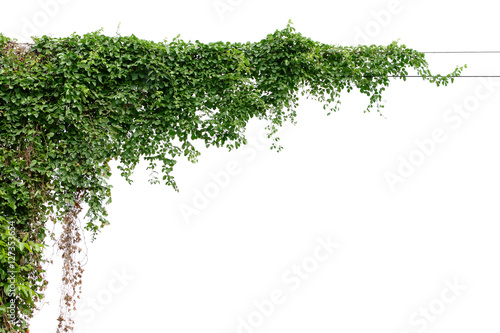 Montage in der Fensternische Pflanzen Plants ivy. Vines on poles on white background