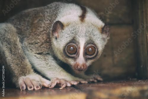 Fotografie, Obraz  Closeup slow loris monkey