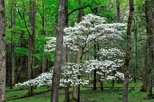 Spring Dogwood
