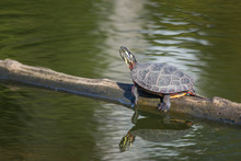 A Painted Turtle Gets Some Sun...