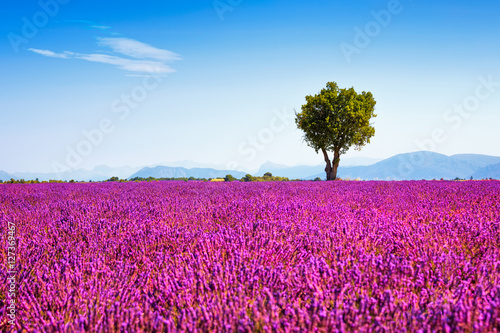 Fotobehang Lavendel Lavender and lonely tree uphill. Provence, France