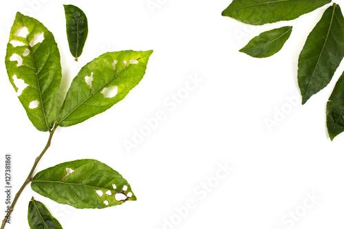 Fototapeta Leaf with holes isolated white background, eaten by pests. obraz na płótnie