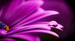 canvas print picture - osteospermum ecklonis